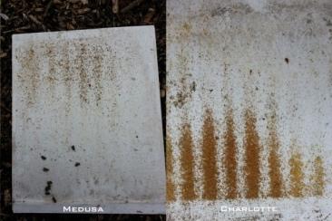 preinspectie_medusa-charlotte